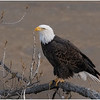 New York Cohoes American Bald Eagle 31 January 2021