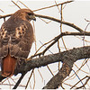 New York New Scotland Redtail Hawk 5 January 2021