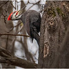 New York Cohoes Peebles Island Pileated Woodpecker 6 December 2020