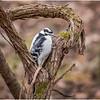 New York Cohoes Peebles Island Hairy Woodpecker 4 December 2020