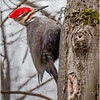 New York Cohoes Peebles Island Pileated Woodpecker 10 December 2020