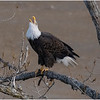 New York Cohoes American Bald Eagle 29 January 2021