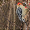 New York Waterford Peebles Island Red Bellied Woodpecker 9 January 2021