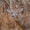 New York Waterford Peebles Island Whitetail Buck 13 November 2020