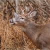 New York Waterford Peebles Island Whitetail Buck 12 November 2020
