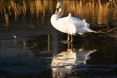 Swan Admiring its own reflection alongside the bird