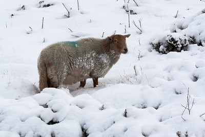 Sheep in the Welsh Mountains