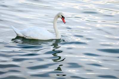 Swan Admiring its own Relection