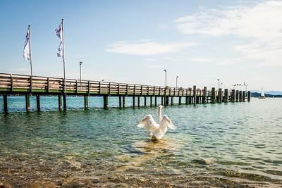 Swan Landing at the Pier