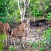 The Sri Lankan axis deer