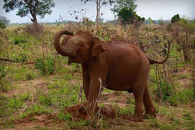 A Sri Lankan Elephant Dusting Off