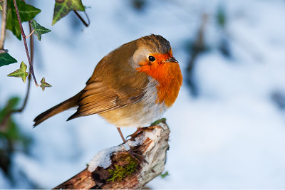 Robin on a Branch in Winter