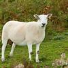 Sheep of Breacon Beacons