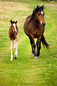 Horses Walking side by side in the Welsh Mountains