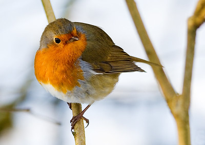 Robin on a Branch in Winter on a Look Out