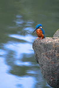 Kingfisher in Sri Lanka on wait for a catch