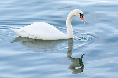 Swan drinking water