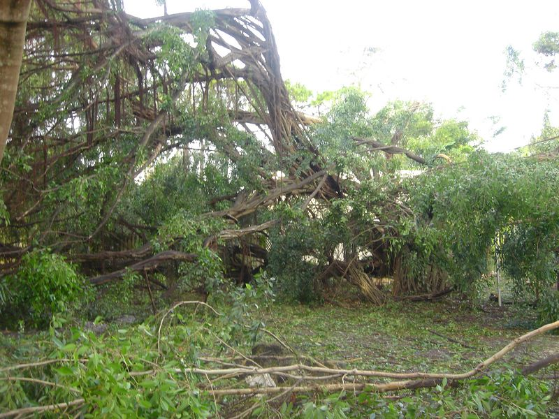 f Hurricane Frances - View of the tree damage 36 hours after the storm - Boca Raton Palm Beach County Florida