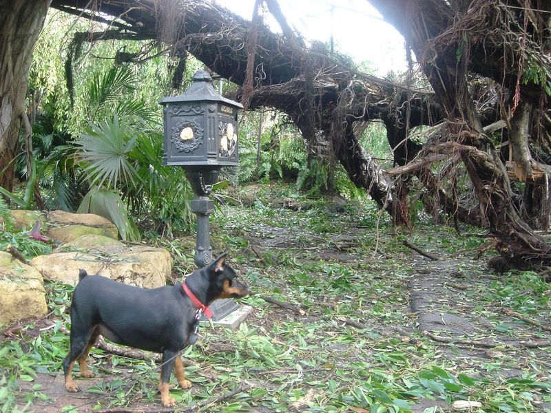 Hurricane Frances - a minpin's view of the tree damage 36 hours after the storm - Boca Raton, Palm Beach County, Florida.