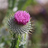 The thistle is the national emblem of Scotland