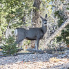 A Mule Deer - Top things to do in Bryce Canyon National Park