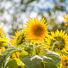 PEI sunflowers dance in the sunshine - Visit famous PEI Green Gables Heritage Place and Cavendish