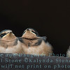 Barn Swallow (Hirundo rustica) young