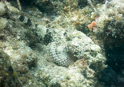 Scorpion Fish hiding