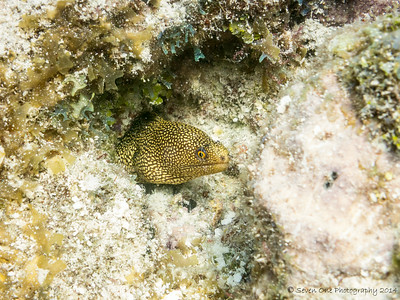 Young Spotted Moray Eel peaking out of his hideout
