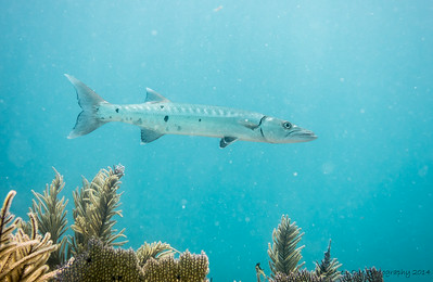 A large Great Barracuda
