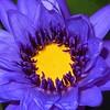 Blue Lotus Water Lily, Lago Maggiore, Italy