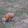 Red Fox Eating Apple