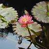 Water Lily, Isola Madre