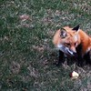 Red Fox Eating and Apple