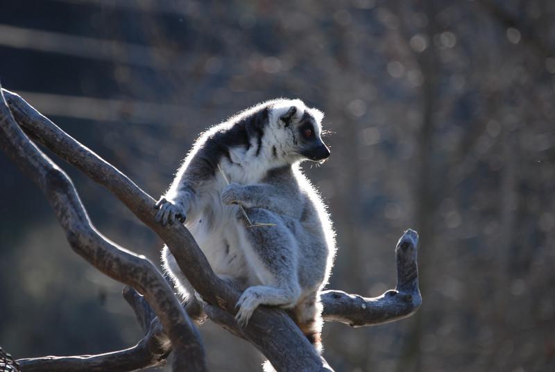 Sunrise on Safari, 2007.  A noisy Lemur takes a break - -