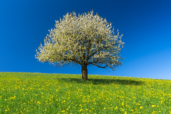 Sweetness tree