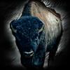 Bison at Teddy Roosevelt National Park