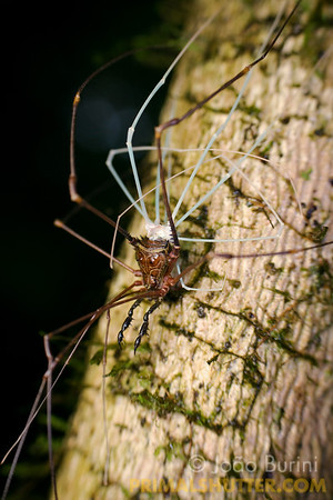 Harvestman moulting on a tree