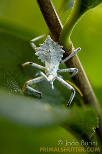 White assassin bug nymph
