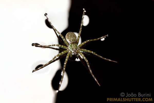 Fishing spider over water with surface tension