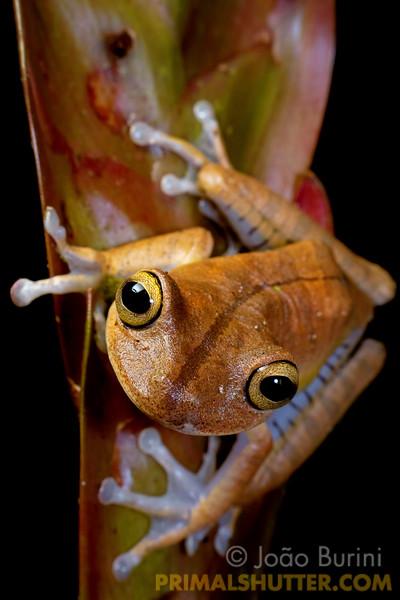 Treefrog on a bromeliad flower
