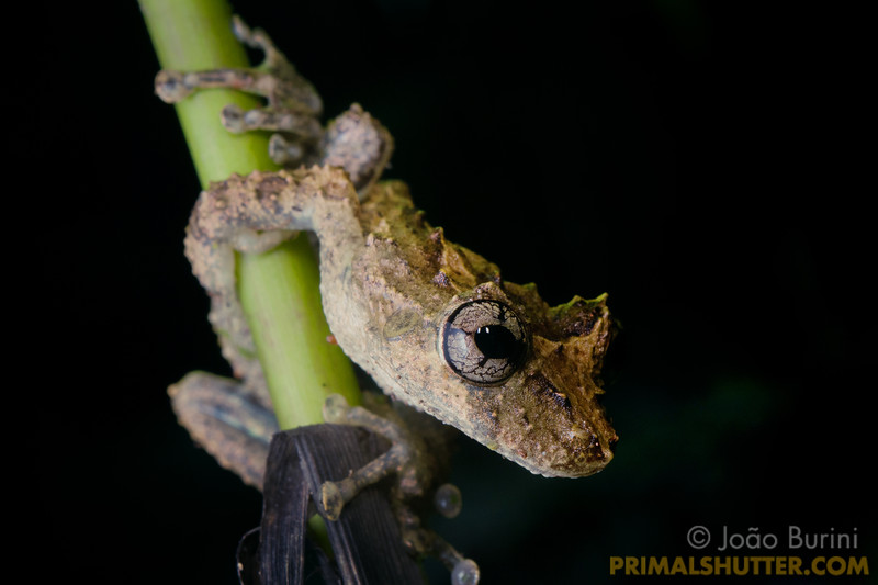 Treefrog on a plant stalk