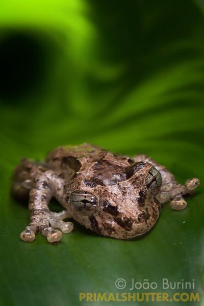 Treefrog sleeping on a marantaceae leaf