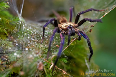 Two tailed spider with violet legs