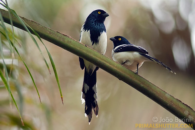Couple of magpie tanagers