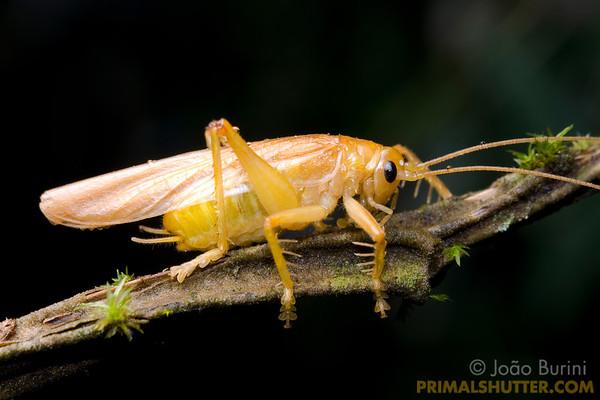 Yellow predatory katydid