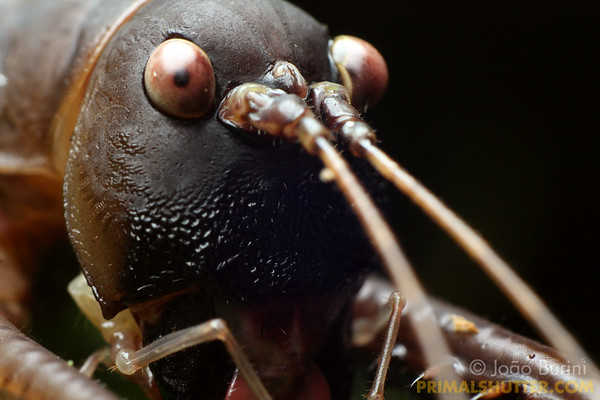 Head details of a predatory katydid
