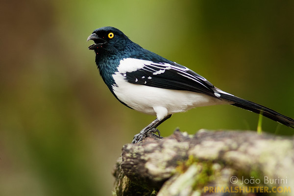 Magpie tanager calling
