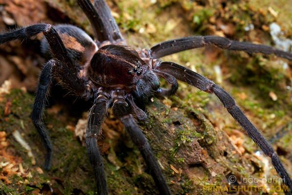 Black wandering spider