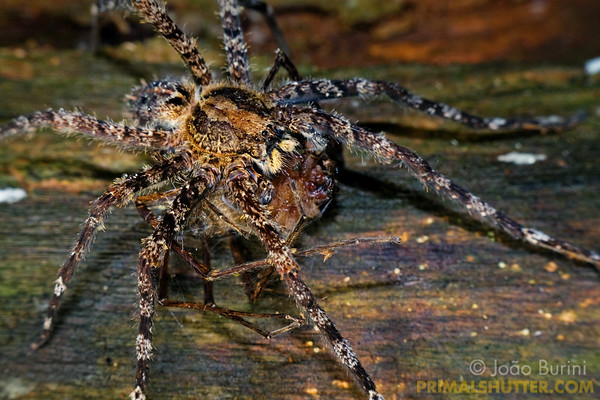 Wandering spider feeding on another spider